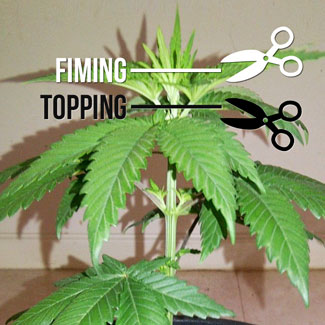 Fimming or topping.