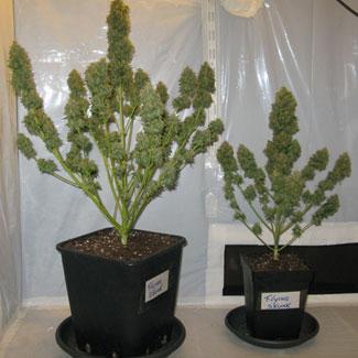 Het verschil van 2 planten uit 1 kweekruimte bij een 12-liter en een 4-liter pot.
