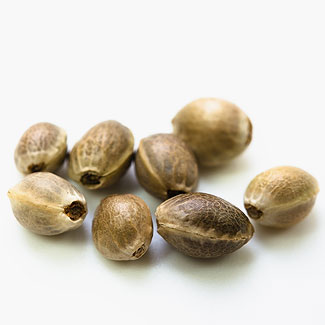 OG Kush cannabis seeds from our Private label