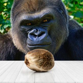 Gorilla Glue Autoflower Huismerk cannabis zaadje