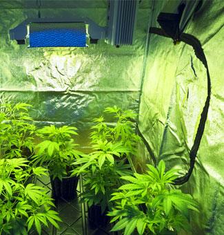 Binnen wiet kweken in een kweektent.