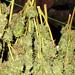 Drogen wietplant