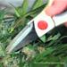 Oogsten wietplant