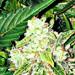 Toprot wietplant