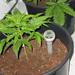 Voeding wietplant