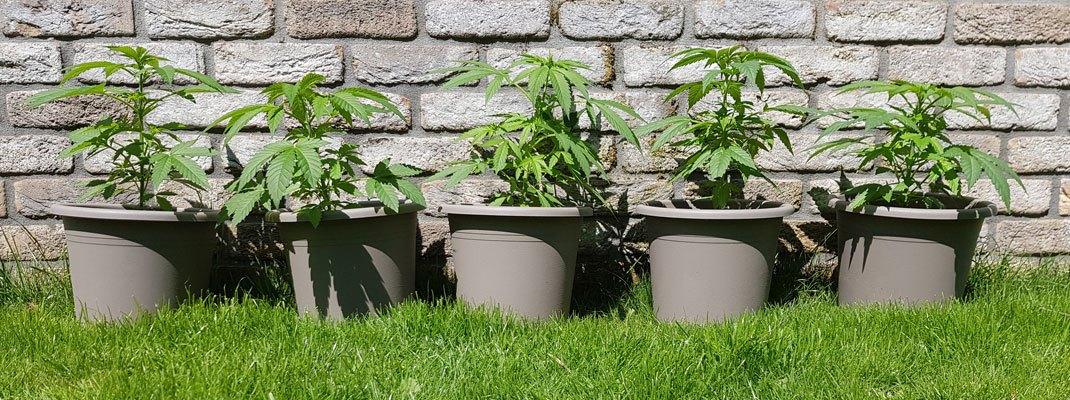 Een wietplant wil het liefst altijd in de volle zon staan.