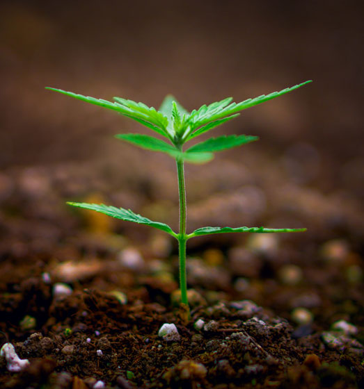 Autoflower zaden kweken kan zowel binnen als buiten.