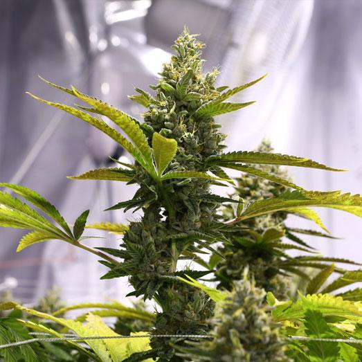 Amnesia Haze wietplant in kweekruimte.