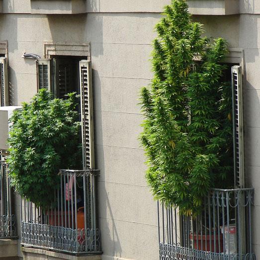 Cannabis planten op een balkon in Barcelona.