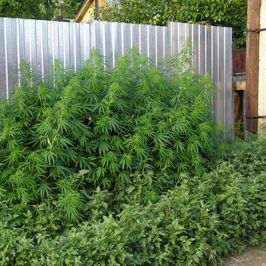 Buitenkweek met wietplanten tegen een schutting.