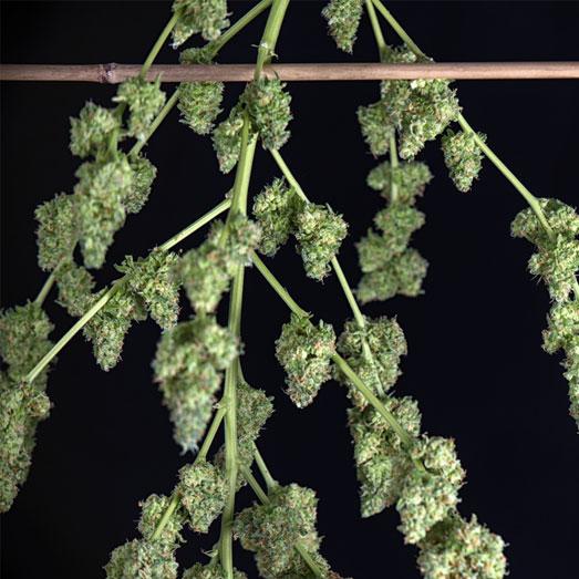 Drogende wietplant toppen.