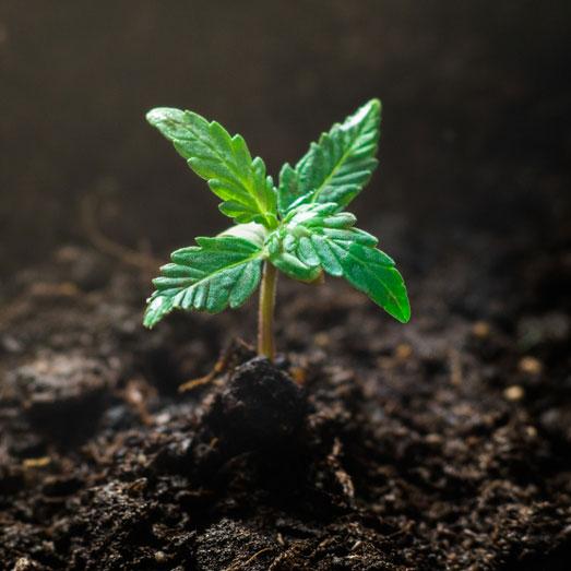 Extra blaadjes groeien tijdens de groeifase.
