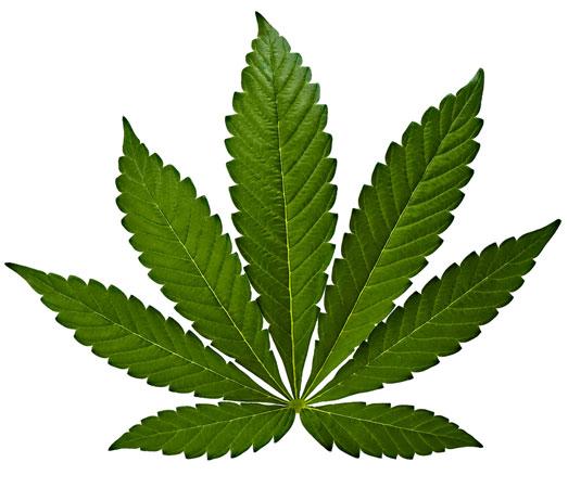 Het blad van een indica wietplant.