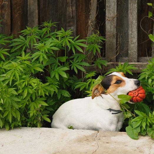 In de volle grond in je tuin kan ja ook kweken.