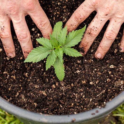 Een groter wietplant kan wel in potgrond.