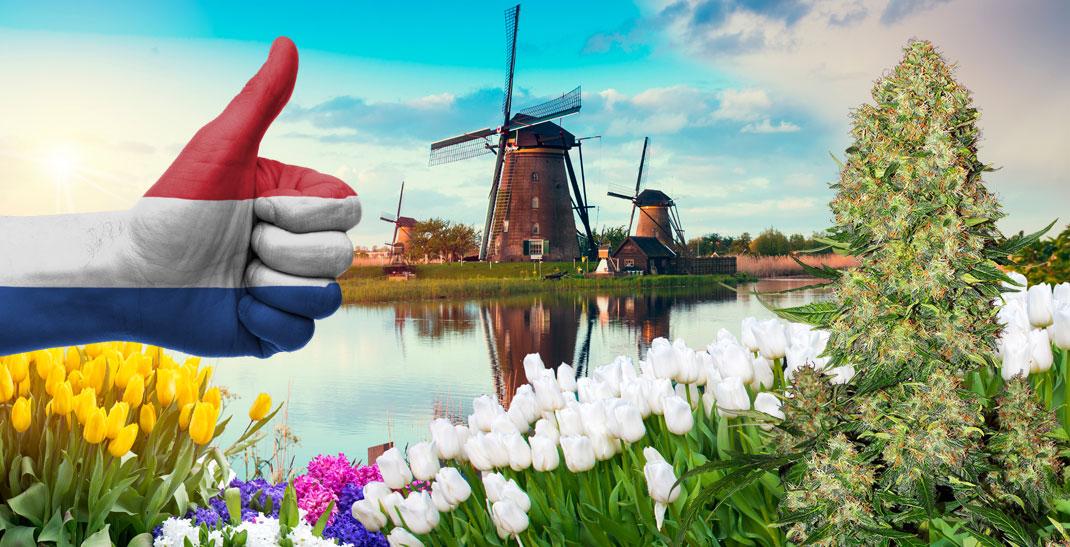 Nederwiet: Het ontstaan en de allerbeste Nederlandse wietsoorten
