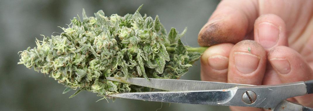 Oogsten wietplant.