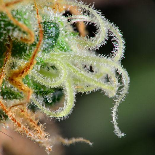 Close-up van een cannabis indica wiettop