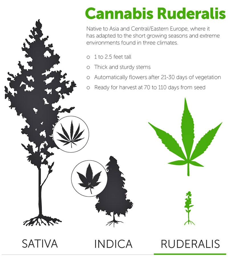Kenmerken cannabis ruderalis wietsoort.