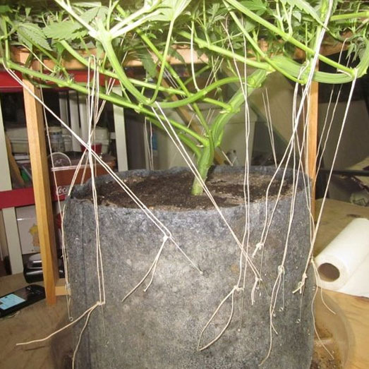 Door het scroggen groeit de wietpland in de breedte.
