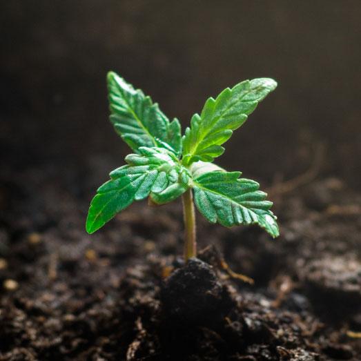 Een zaailing van een wietplant: te vroeg voor voeding.