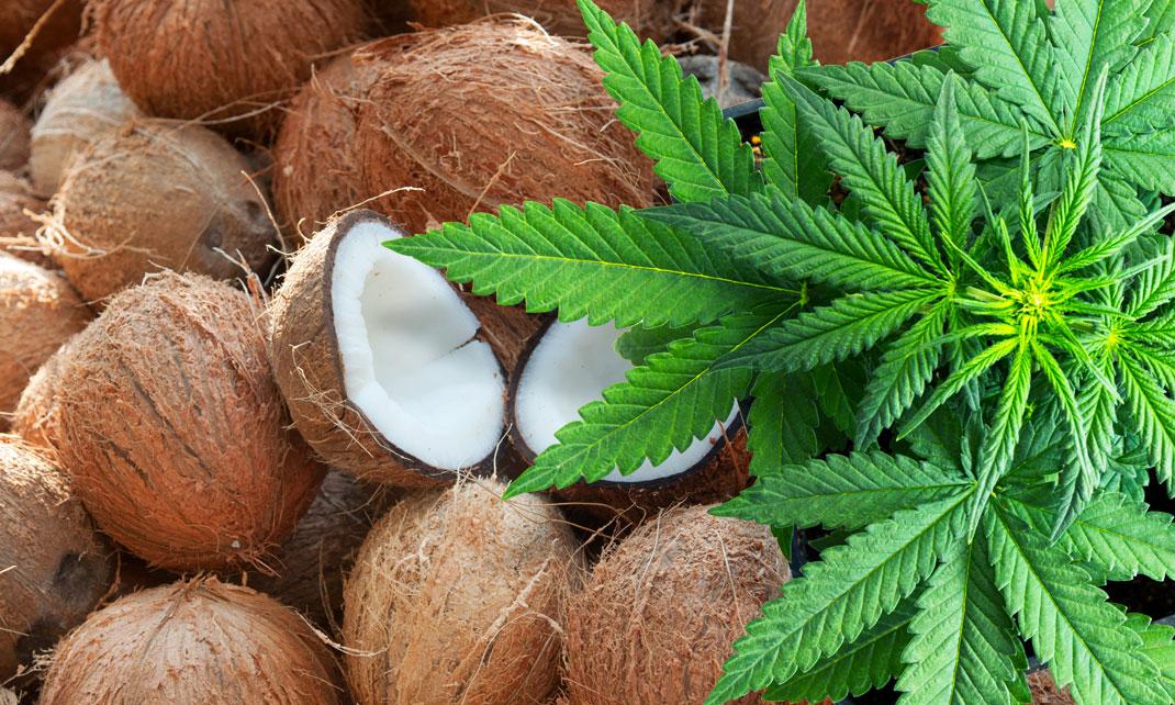 Op cocosvezels wiet kweken.