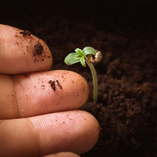 Zaailing wietzaadje: een klein wietplantje.