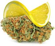 Lemon Haze wiet heeft de geur en smaak van vers gesneden schijfjes citroen